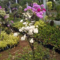 Bonsai bunga kertas (bougenville) | supplier tanaman | desain taman