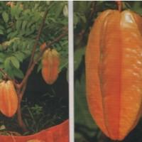 biji/benih/bibit buah belimbing super manis