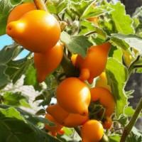 Benih / Bibit / Biji - Terong Susu Puting Sapi (Solanum mammosum L.)