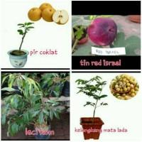 Bibit buah paket 4( pir, tin red israel,leci kom,klengkeng mata lada)