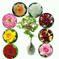 Tanaman hias mawar 8 paket batang