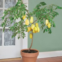 biji/benih/bibit bonsai buah belimbing unggul