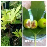 Bibit Pohon Buah Tin/Ara/Fig Jenis Green Yordan