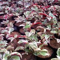 Tanaman Pohon Sambang Dara / Tanaman Sambang Darah