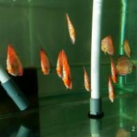 harga ikan discus red pidgeon Tokopedia.com
