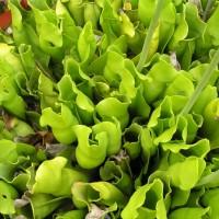 Biji Benih Bibit Sarracenia purpurea f.heterophylla (all green)