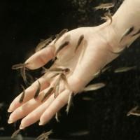 Ikan Terapi Garra Rufa Ukuran 3,5Cm (Ideal)
