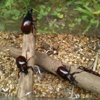 Kumbang Tanduk /Badak /Oryctes rhinoceros, Xylotrupes Gideon