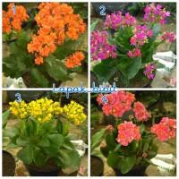 Bibit Bunga Cocor Bebek Paket 4 Warna