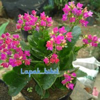 Bibit Bunga Cocor Bebek Pink
