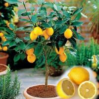 Bibit Tanaman Buah Jeruk Lemon Impor