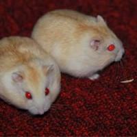 hamster golden red eye