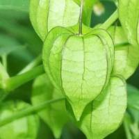 Harga biji benih bibit buah gooseberry tanah | antitipu.com