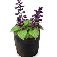 Bibit Tanaman Salvia Purple Dragon