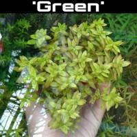 Tanaman Aquascape - Rotala Macrandra 'Green'