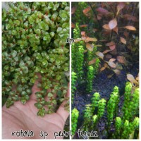 rotala sp pearl type2