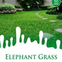 50 Benih RUMPUT GAJAH / ELEPHANT GRASS Maica Leaf