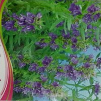bibit biji benih bunga lavender anti nyamuk seed