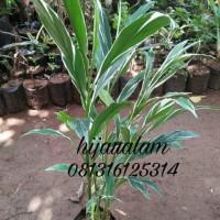 tanaman honje varigata / kecombrang varigata