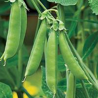 Jual Benih Kacang Polong Bulat / Kapri Bulat / Snow Pea (Import) Murah