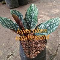 tanaman calathea daun bulat pinstrif / calatea pinstrif