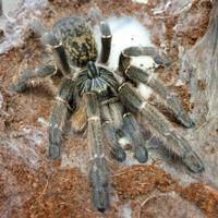 Ceratogyrus marshalli tarantula 2cm
