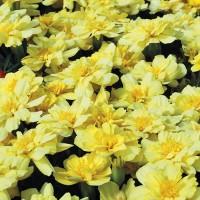 Marigold Alumia Vanilla Cream - Benih Biji Seed Bunga