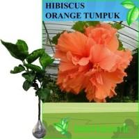 Tanaman Bunga Hibiscus Orange Tumpuk