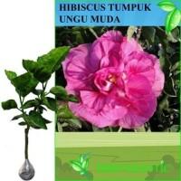 Tanaman Bunga Hibiscus Tumpuk Ungu Muda