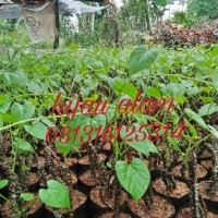 tanaman herbal antawali / tanaman brotowali