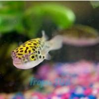 Spotted Pufferfish Ikan Hias Aquarium Buntal