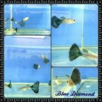 Guppy blue diamonds