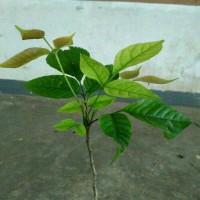 bibit pohon kecapi