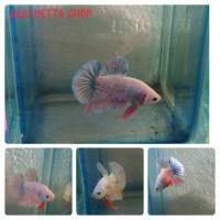 Ikan Cupang Giant Plakat (3)