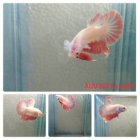Ikan Cupang Giant Plakat (1)