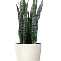 tanaman sansevieria trifasciata (hijau)/Lidah Mertua/Pedang/pedangan