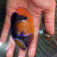 Ikan Hias Laut Angel Piyama S Dan M