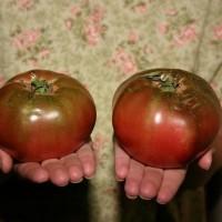 Jual  Bibit  Benih  Seeds Tomat Ungu Cherokee Purple Tomato Mudah  T2909 Murah