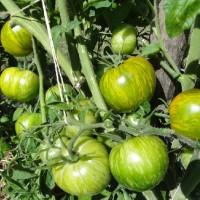 Jual  Bibit  Benih  Seeds Sayur Tomat Hijau Tomato Green Zebra T2909 Murah
