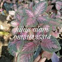 tanaman bludru merah