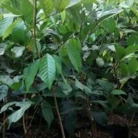 bibit pohon rambutan rapiah