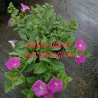 tanaman gantung petunia | tanaman bunga petunia | tanaman petunia
