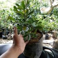 Bibit tanaman buah miracle,mirekel atau buah ajaib