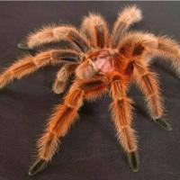 Tarantula Grammostola Rosea (SLING / BABY)