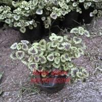 tanaman bayam mini | miyana mini | tanaman gantung bayam