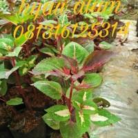tanaman bayam tricolour | miyana tricaler