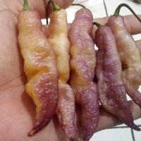 [Isi 5 Biji] Benih Biji Pink Tiger Pepper
