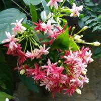 Jual melati belanda | tanaman rambat untuk bergola
