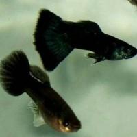Hiasan Aquarium Guppy Black Moscow - untuk Aquascape