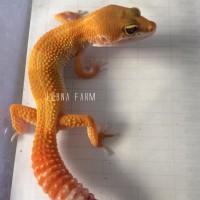 Jual Leopard Gecko Orange mantap Murah